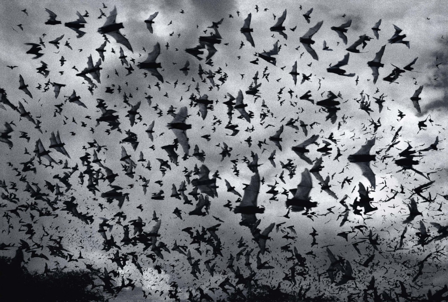 Bat Bomb - Photo by Tim Flach (timflach.com)